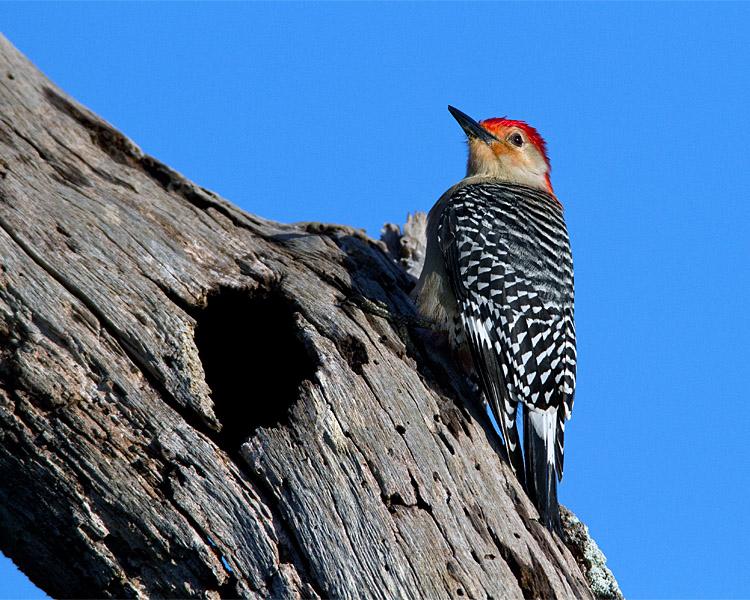 Red Bellied Woodpecker on the Tree.jpg