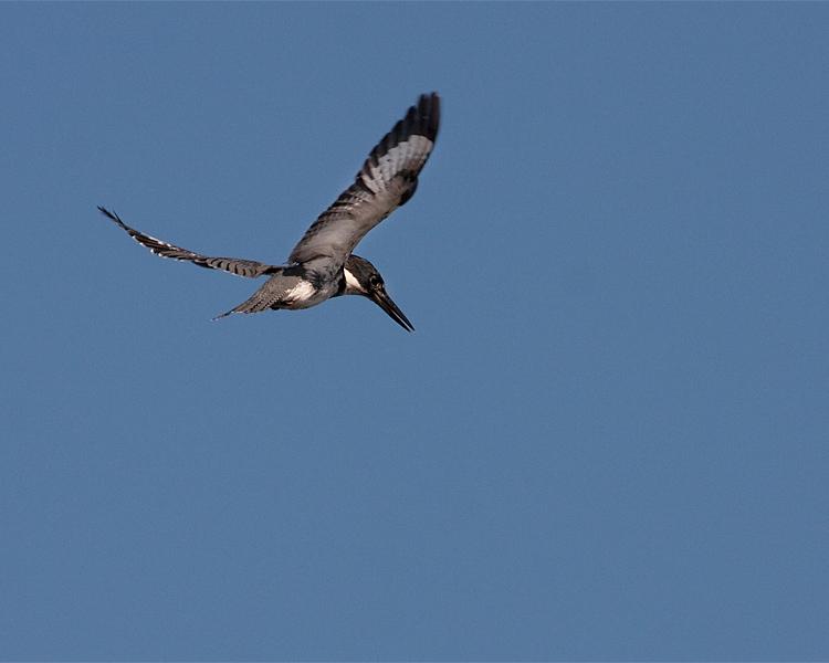 Belted Kingfisher Flying.jpg