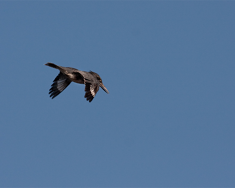 Belted Kingfisher in Flight.jpg