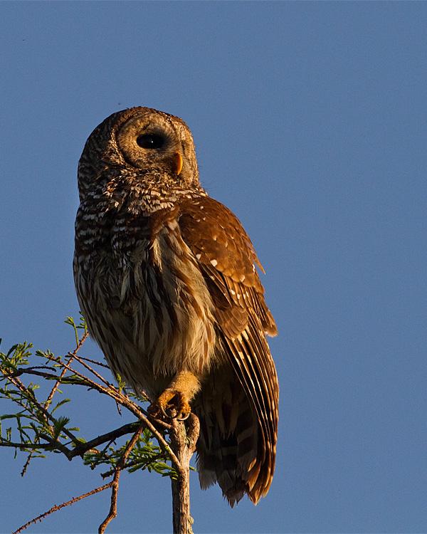 Barred Owl in the Sunlight.jpg