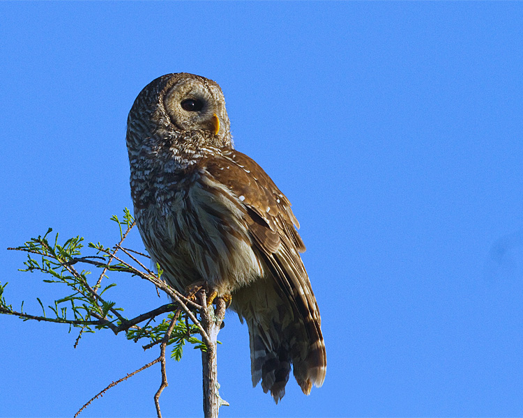 Barred Owl Looking Right.jpg