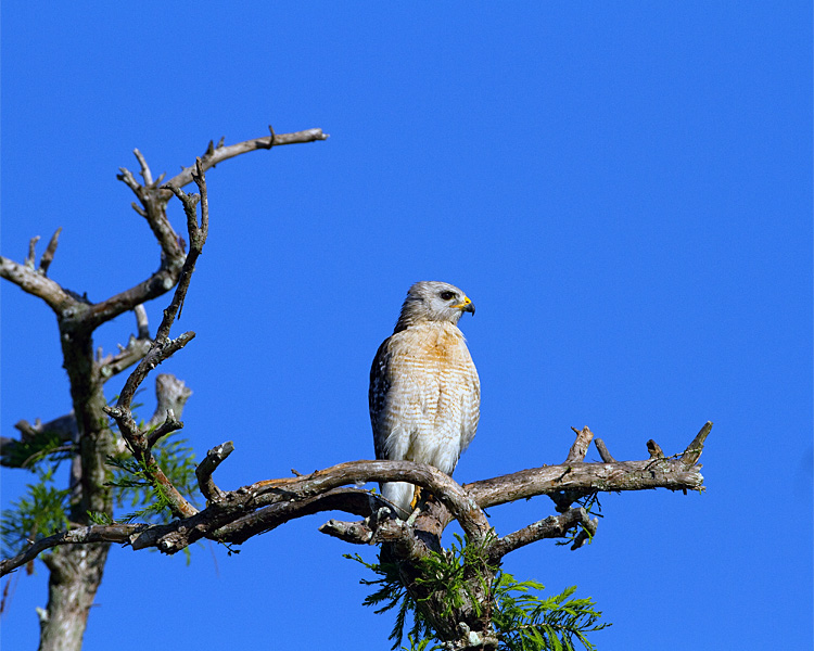 Red Shoulder Hawk on Heron Hideout.jpg