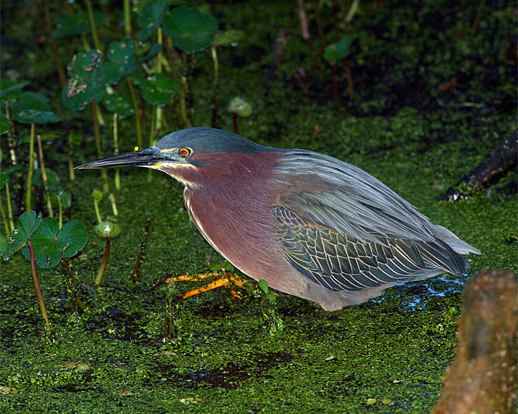 Green Heron on Alligator Alley.jpg