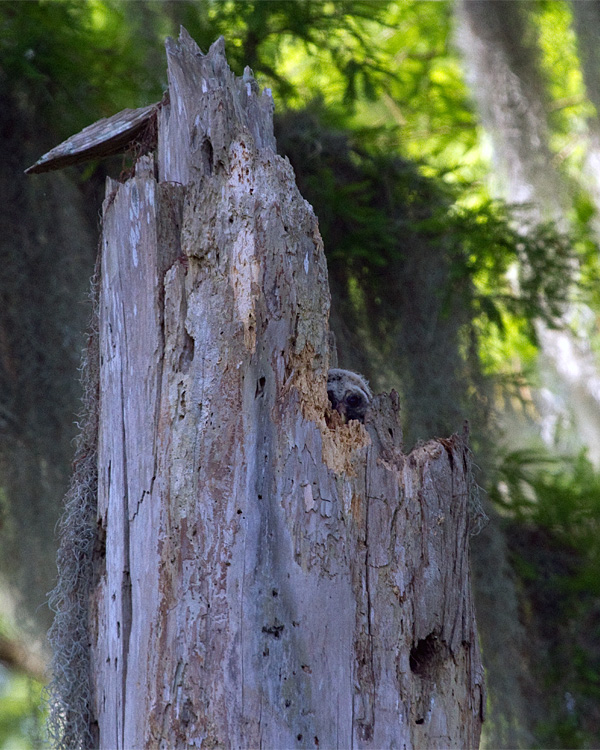 Barred Owl Chick in the Nest.jpg