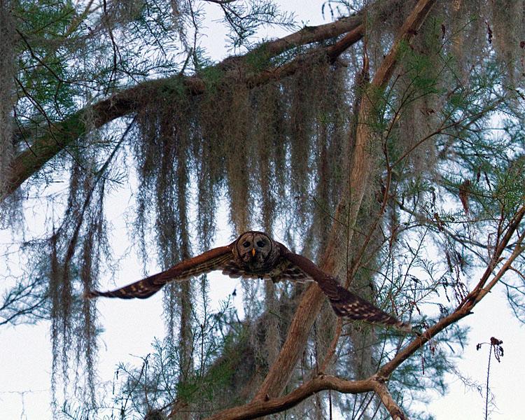 Barred Owl Gliding.jpg