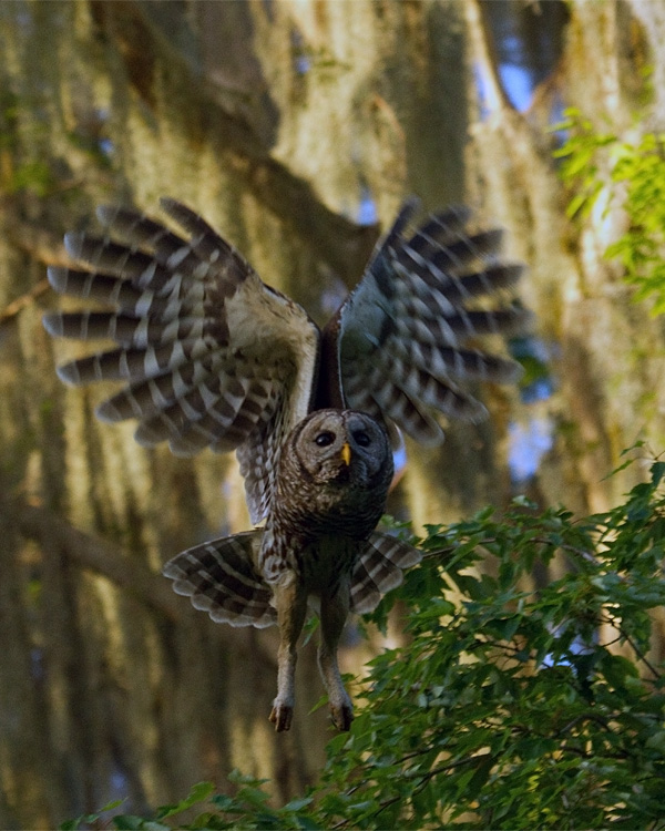 Barred Owl Launching from the Tree.jpg