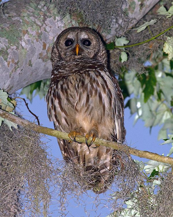 Barred Owl on a Mossy Branch.jpg