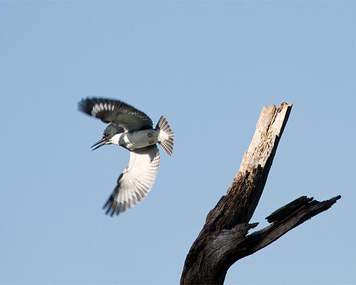 Belted Kingfisher Launching.jpg