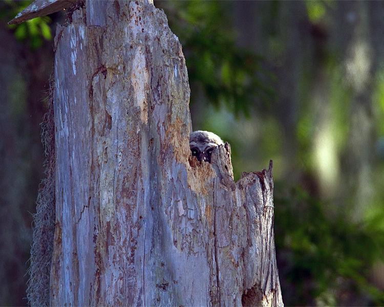 Barred Owl Chick Peeking Out.jpg