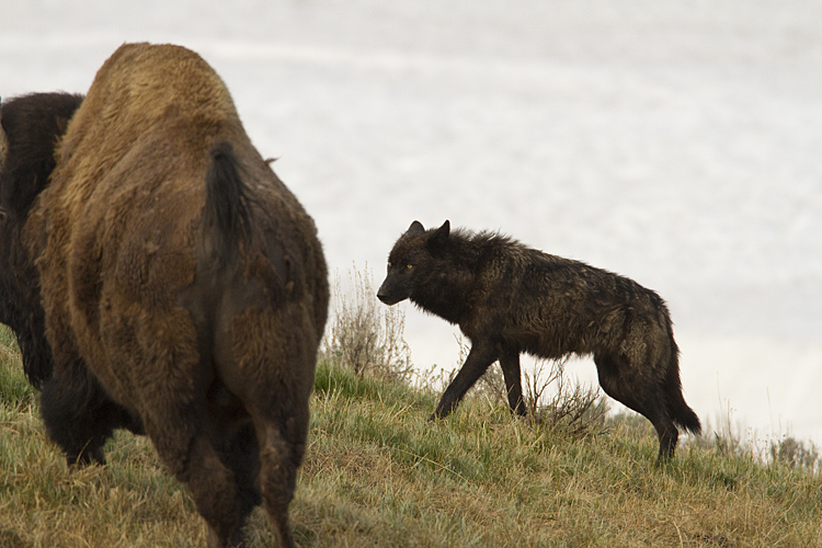 Canyon Black Wolf Harassing a Bison.jpg