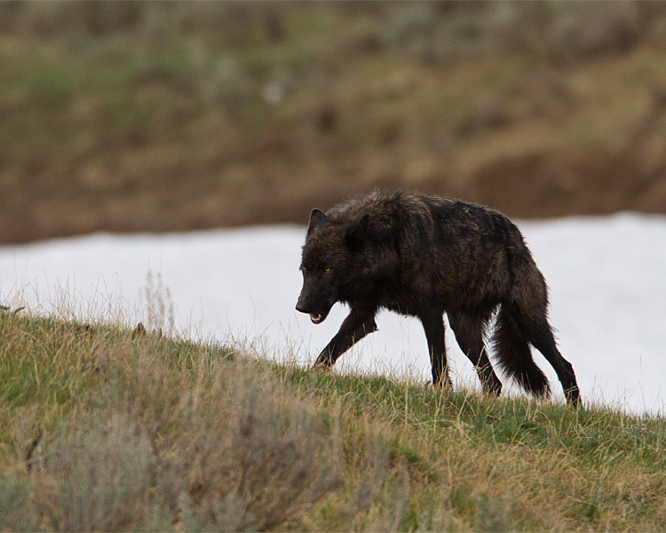 Black Wolf Loping at Alum Creek.jpg