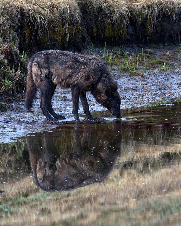 Canyon Pack Wolf Drinking at Alum Creek.jpg
