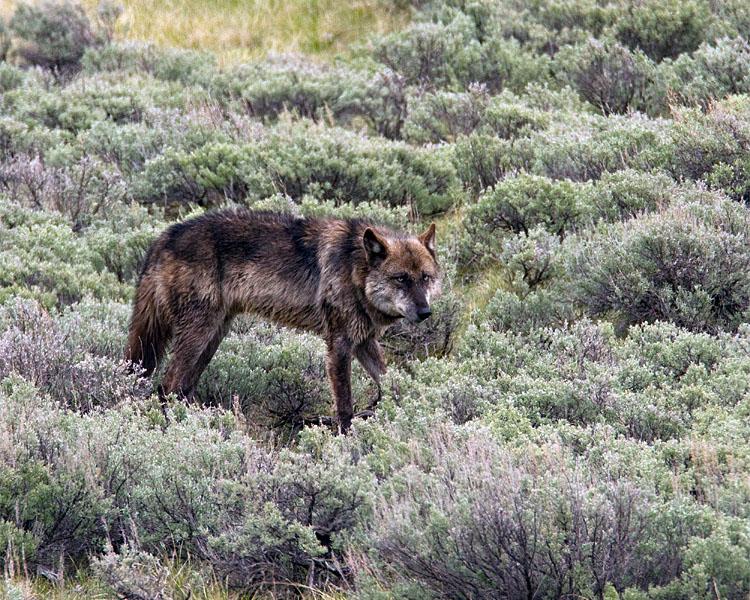 Lamar Canyon Wolf in Lamar Valley.jpg