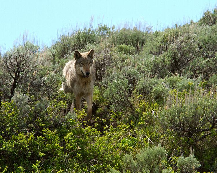 Lamar Canyon Wolf By Soda Butte Cone.jpg