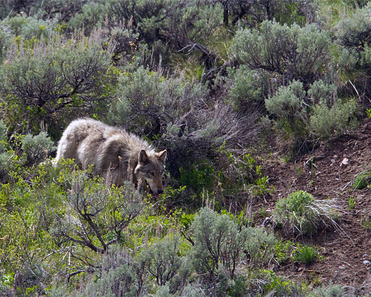 Lamar Canyon Wolf in the Sage by Soda Butte Cone.jpg