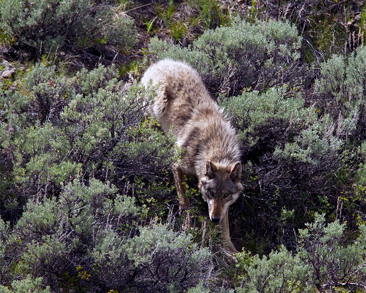Lamar Canyon Wolf Coming Down the Hill By Soda Butte Cone.jpg