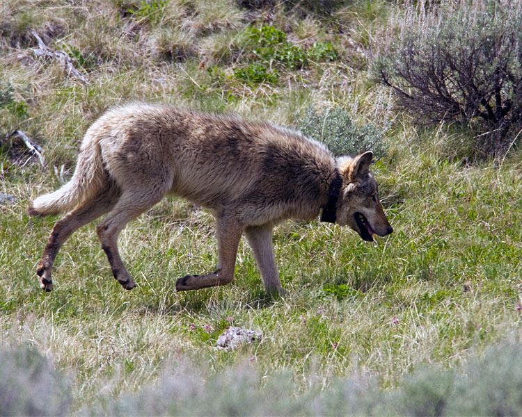 Lamar Canyon Pack Wolf Near Soda Butte Cone.jpg