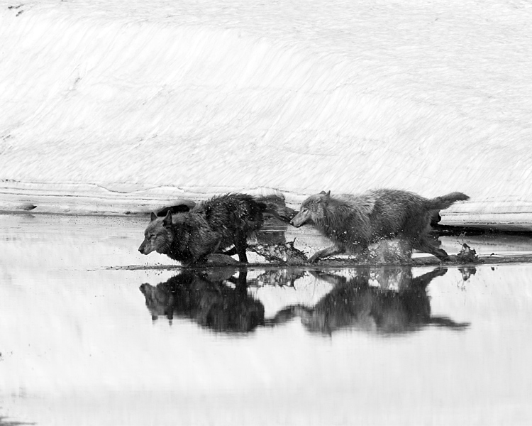 Wolves in the Creek in Black and White.jpg