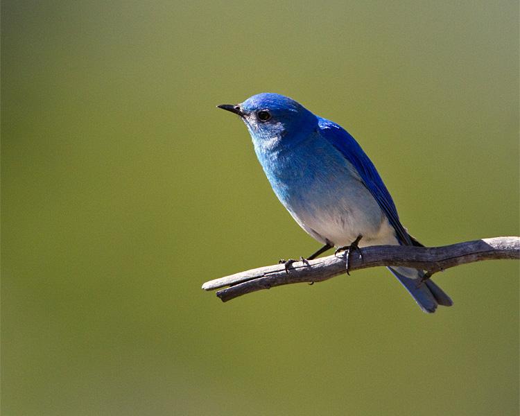 Mountain Bluebird Closeup.jpg