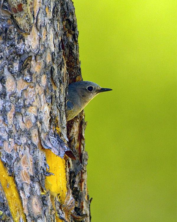 Mountain Bluebird in the Nest.jpg