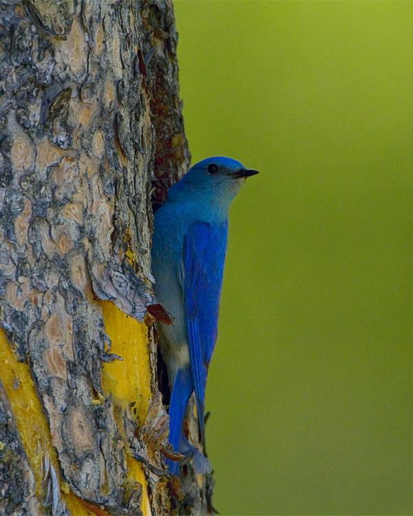 Mountain Bluebird on the Nest Tree.jpg