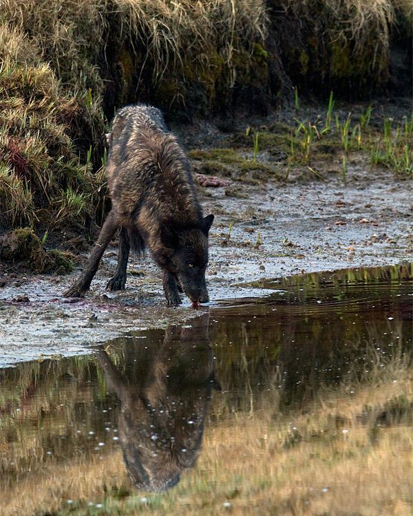 Black Canyon Wolf Drinking.jpg