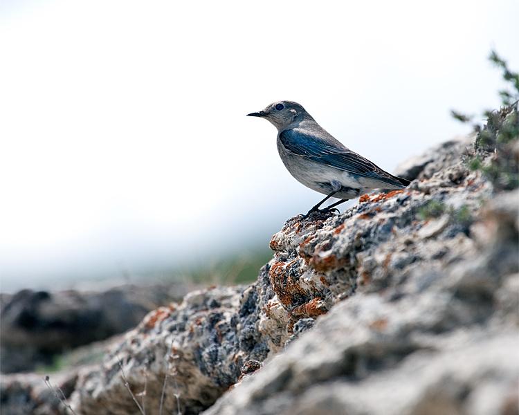 Mountain Bluebird on the Rocks.jpg