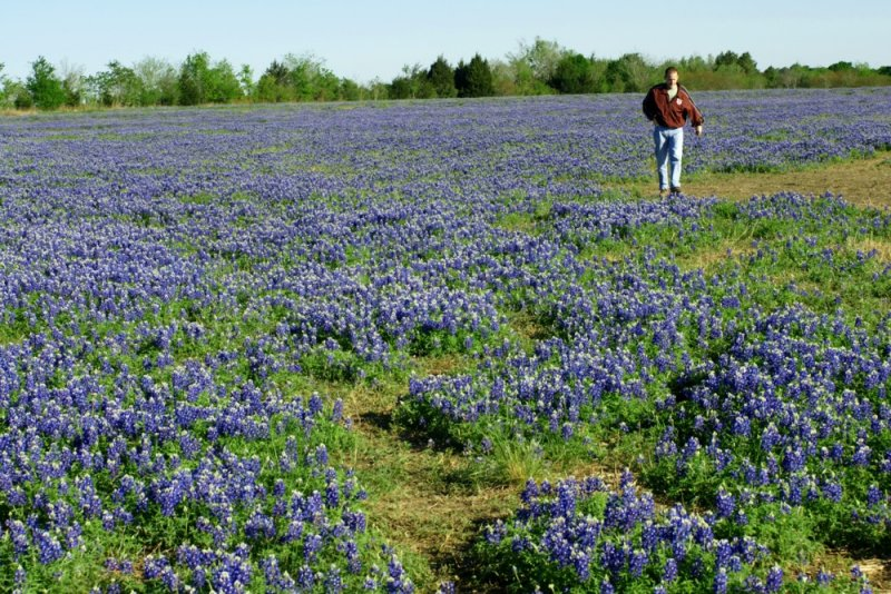 Bluebonnets in Hempstead