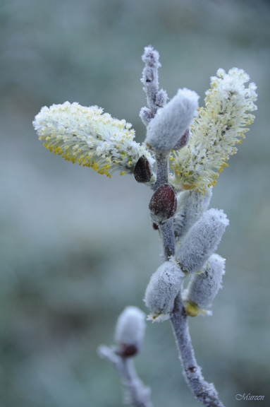 Pussy Willow Frost