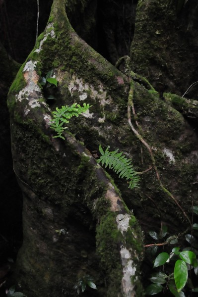 15 Ferns on buttress root 2476