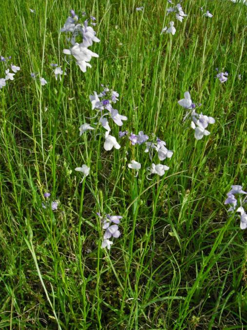 Blue Toadflax 4301