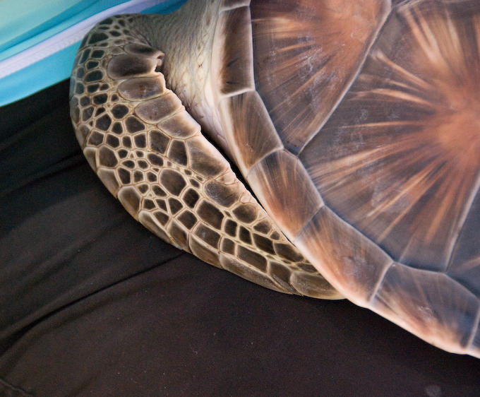 Young Hawaiian Green Sea Turtle