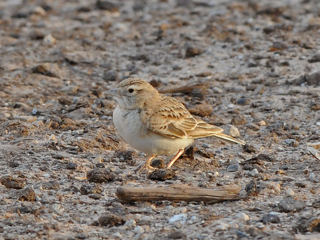 Short-toed lark