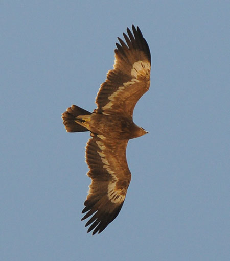 Steppe eagle 3k