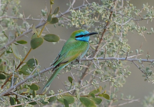 Little-green bee-eater