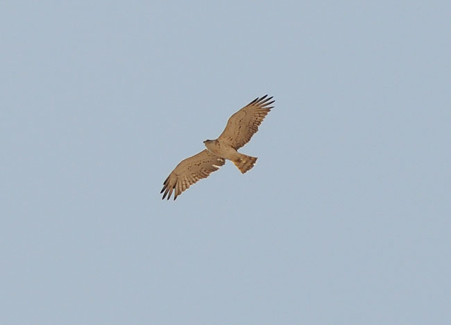 Short-toed Eagle a wery pale bird. One of our about 40 during our stage