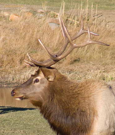 z P1060839 Male elk resting happily.jpg