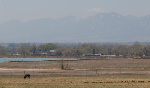 zP1040353 Cow eats pollution-tainted grass - Haze over Boulder Colorado.jpg