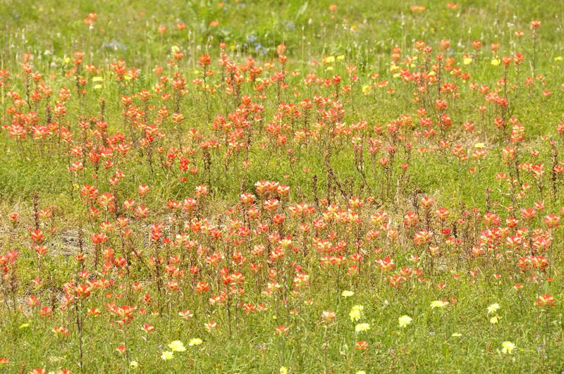 wildflowers DSC1656.jpg