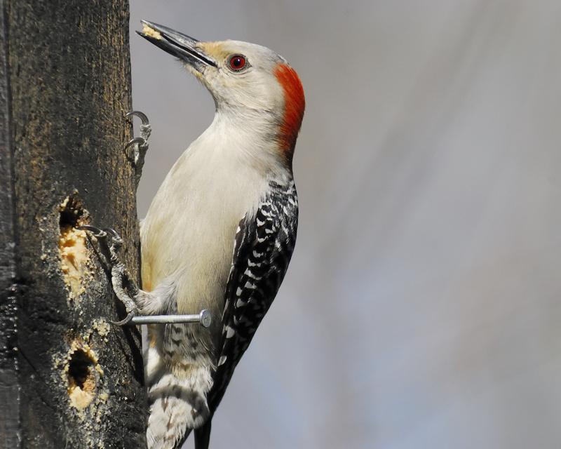 red-bellied woodpecker BRD9108.jpg