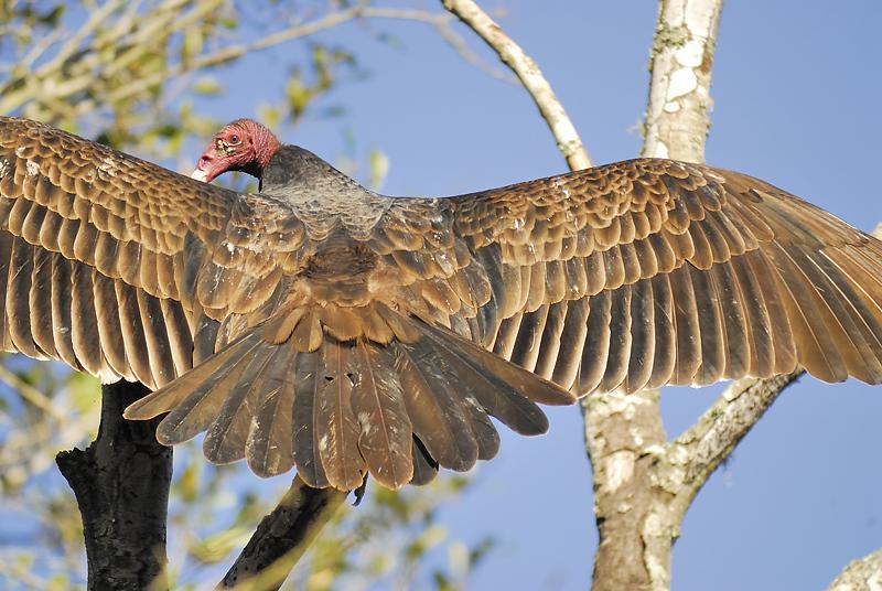turkey vulture BRD2652.JPG