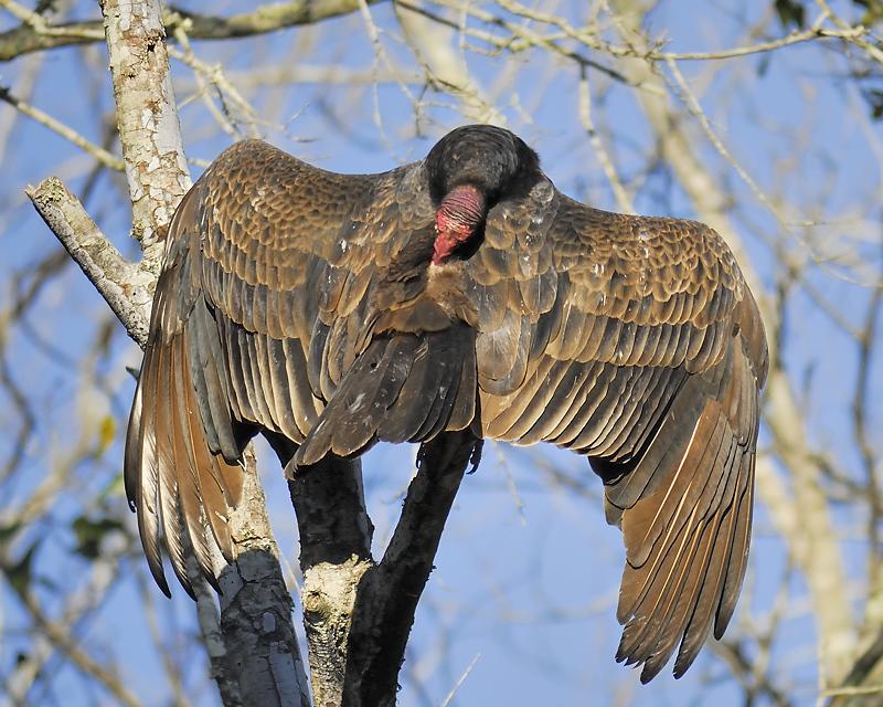 turkey vulture BRD2659.JPG