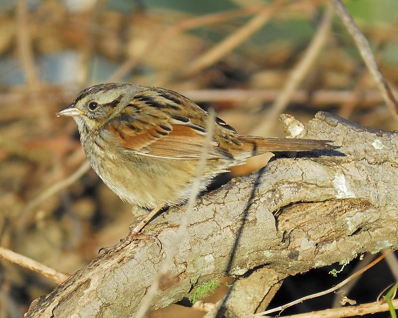 swamp sparrow BRD2642.JPG