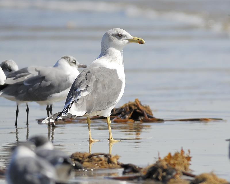 lesser black-backed gull BRD2922.JPG