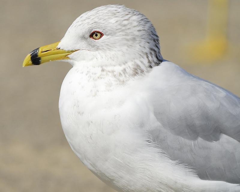 ring-billed gull BRD2951.JPG