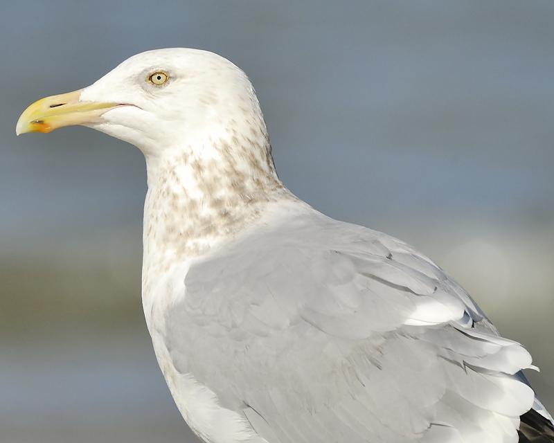 herring gull BRD2985.JPG