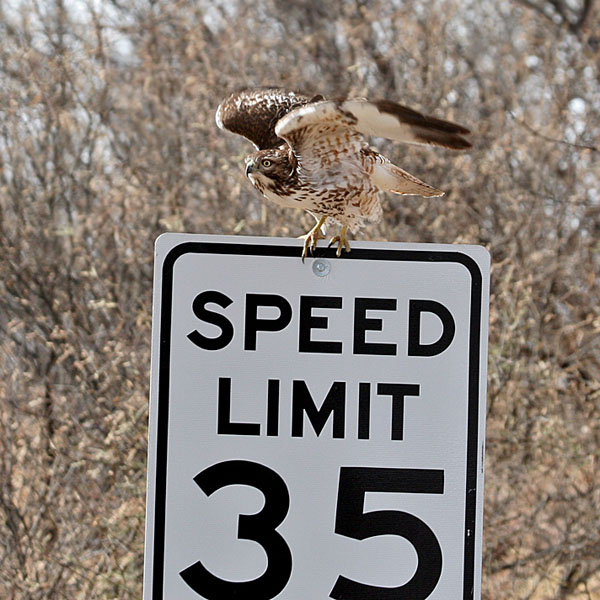 FWB 0232 Red-tailed Hawk.jpg