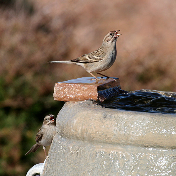 FWB 9111 Sparrows.jpg