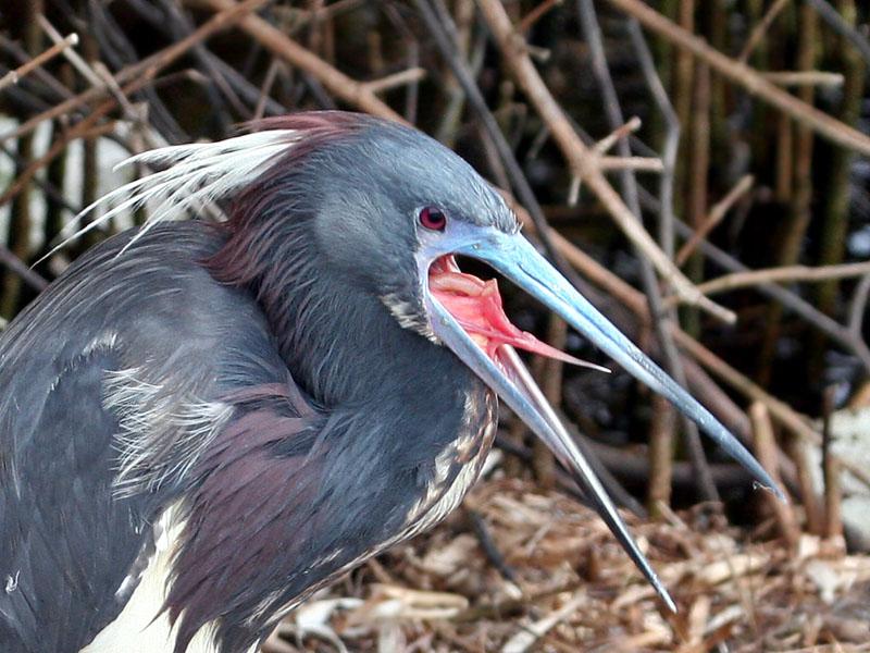 FWB 1869a Tri-colored Heron.jpg