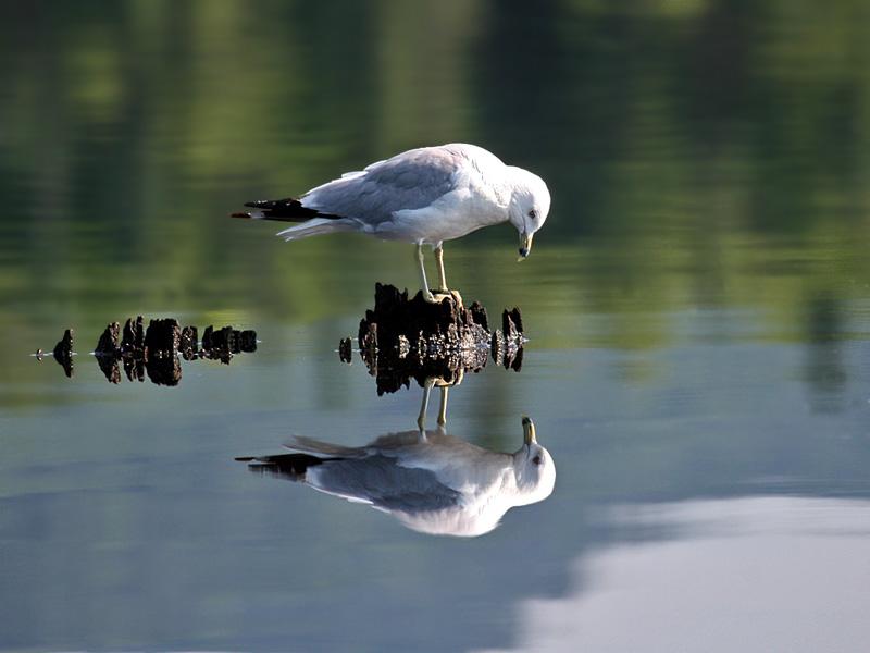 FWB 1620a Ringed-bill Gull.jpg
